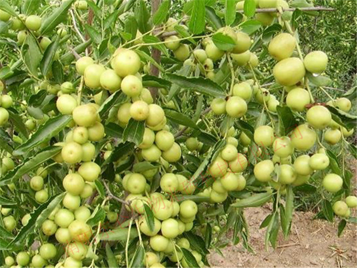 新疆光碳核肥大枣产量高,品质好Xinjiang gonton fertilizer, jujube high yield, good quality